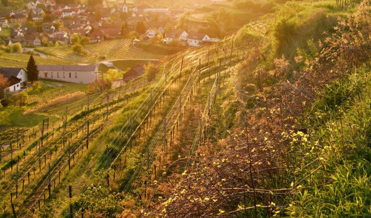DiscoverSpätburgunder: German Pinot Has Arrived